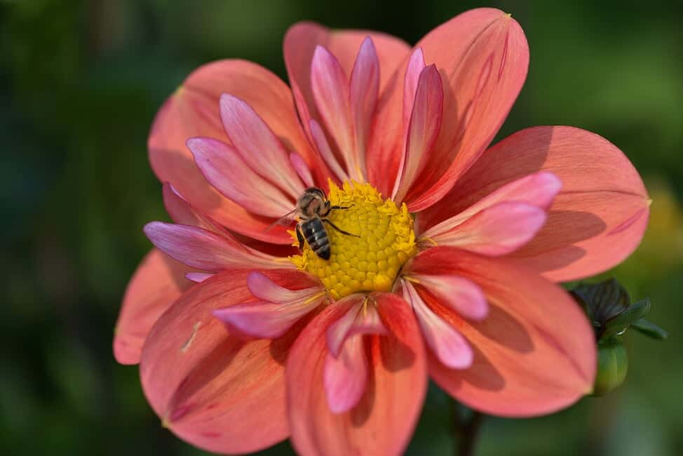 honey bee on flower by Nancy Crowell